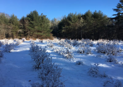 Blueberry patch in snow